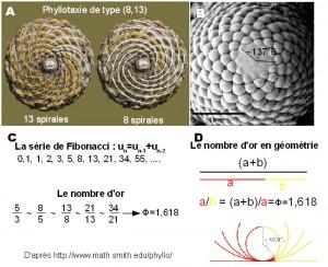 La Phyllotaxie des plantes: approches descriptives et géométriques.